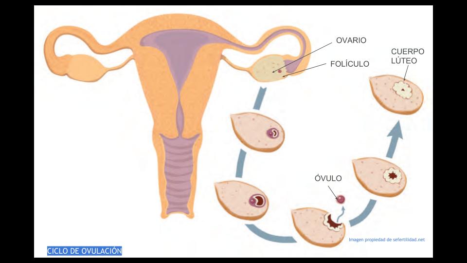ciclo de ovulación